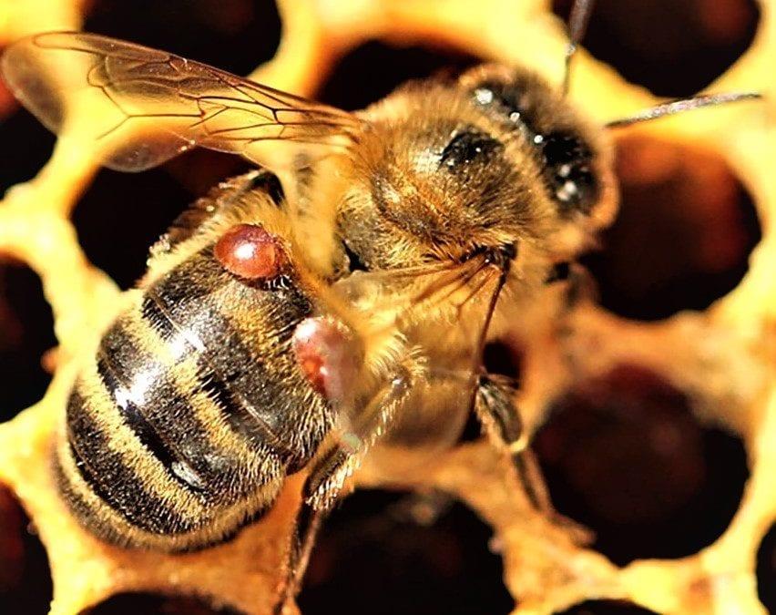 Kurs am Lehrbienenstand: Biologie und Behandlung der Varroamilbe