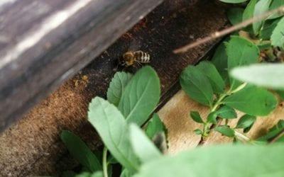 Die Bienen kommen